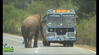 Huge Wild elephant waiting for food !