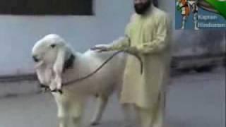 goat takes revenge from mullah katl ud din in pakistan