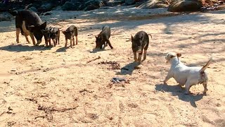 Jack Russell terrier and wild piggys
