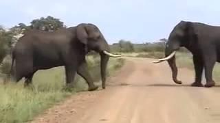 Elephants Fight To Death قتال الفيلة