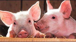 هل تعلم لماذا خلق الله الخنزير.. و لماذا حرم أكله سبحان الله !
