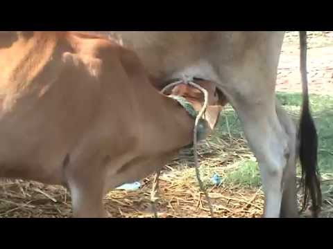 Calf drinking its mother's milk
