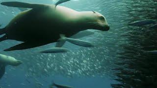 Sardine Feeding Frenzy: Whale, Shark, Dolphin and Sea Lions | The Hunt | BBC Earth