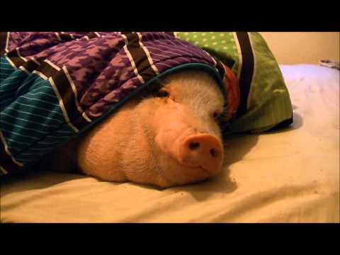 Xxx Mp4 Sleeping Pig Wakes Up For A Cookie 3gp Sex