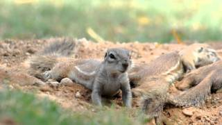 Cape Ground Squirrels - dust bathing and wrestling, Nr Kimberley SA