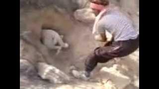dog hunts porcupine