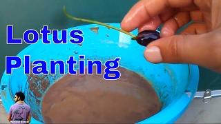 कमल को गमले में कैसे लगाए /How to Grow lotus in Pot -11th June 2017/Mammal Bonsai