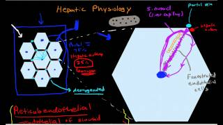 Hepatic Physiology 3: Sinusoids & Surrounding Cells