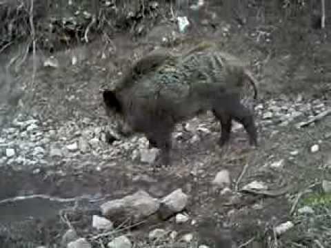 lov na diva svinja barak.avi