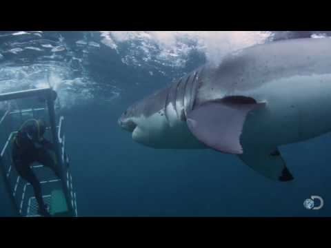 Xxx Mp4 18 Foot Shark Attacks Cage Great White Serial Killer 3gp Sex