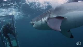 18-Foot Shark Attacks Cage | Great White Serial Killer