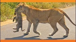 Lioness Rescues Her 6 Cubs After an Elephant Chase