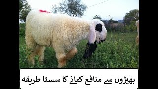 how to start goat and sheep farming in Pakistan and India | بھیڑیں پالنے کا آسان طریقہ