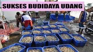 Ternak Udang Vaname Air Tawar Intensif Full Cara Budidaya & Tips Sukses