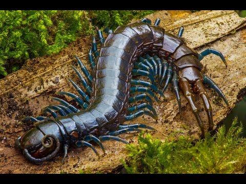Xxx Mp4 Deadly Fight Snake VS Huge Centipede HD 3gp Sex