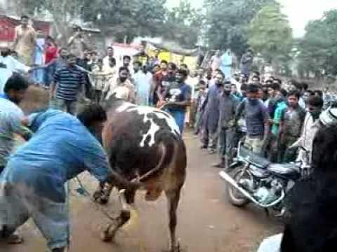 papar wala cow num1kurbani 2011.shakir kasai
