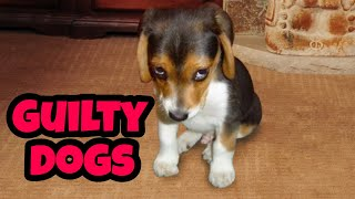 Guilty Dogs Compilation (2019) | Who Did That?
