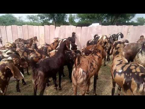 Xxx Mp4 Ajmer Rajsthan Hans Goats Farm For Sell Available Booking Now Whatapp 8239533937coll8233533937 3gp Sex