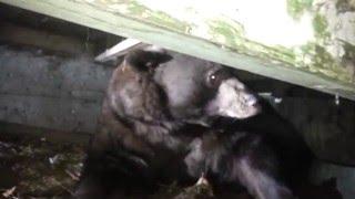 Viral Video UK: Big ass bear under the stairs