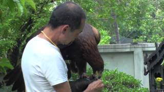 Golden Eagle Training, 2nd Step After Maning