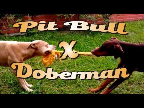 Pit bull Vs. Doberman