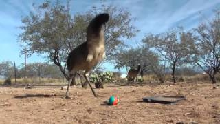 Emu Freaks Out Over a Weasel Ball