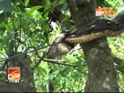 Anaconda Jumbo Kagetkan Warga Kuppa