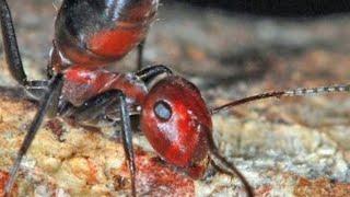 Strange 'Exploding Ant' Species Discovered In Asia