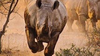 وثائقى غضب وحيد القرن  حين يصبح الصياد فريسة ناشيونال جيوغرافيك