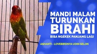 Suara Burung : Mandi Bareng Ashanti Lovebird Ngekek Panjang Udin Selon Download Mp3 Mp4 3GP HD Video