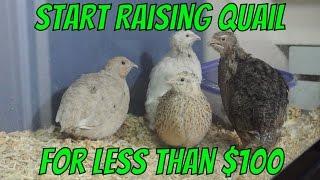 Start Raising Quail for less than $100