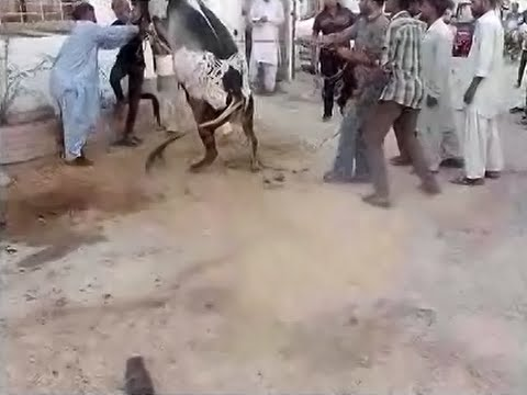 Khatarnak Cow Qurbani 2015