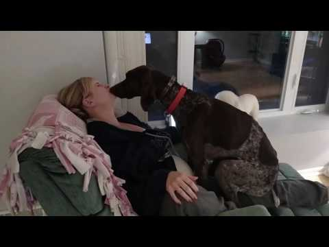Xxx Mp4 Dog Loves His Mommy German Shorthaired Pointer Kissing Licking And Being A Lap Dog 3gp Sex