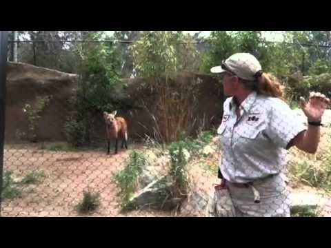 Maned Wolf Training