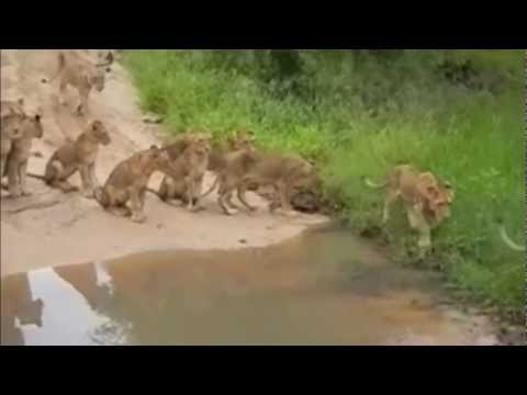 Lions vs Wild dogs