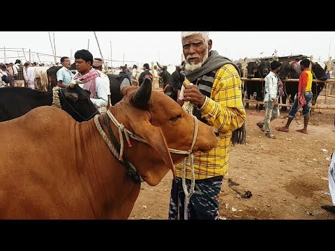 Xxx Mp4 692।গাভি গরুর দাম জেনে তার পর গরু কিনুন।Cow Price Update।সিটি হাট রাজশাহী 3gp Sex