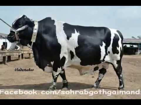Shah Cattle Farm 2011
