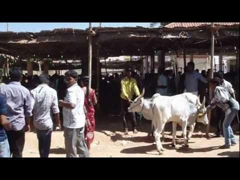 Xxx Mp4 Maattu Pongal Festival 2013 Video 2 Nandagopalan Kovil Cumbum 3gp Sex