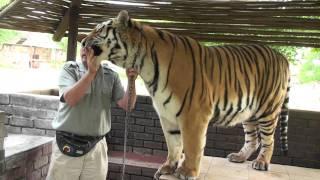 Feeding and Walking a Tiger