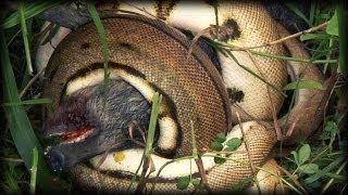 Python kills Pig 01 - Dangerous Animals in Florida