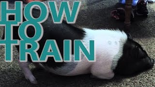 How to Train a Pot-Bellied Pig