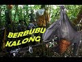 Download Video Download Berburu Ratusan Kalong dapat Banyak 3GP MP4 FLV