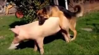 JAKO SMIJEŠNO! svinjogojstvo Pas Parenje