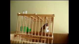 Goldfinch Singing 2015 ( Male Or Female ? ) Download Mp3 Mp4 3GP HD Video