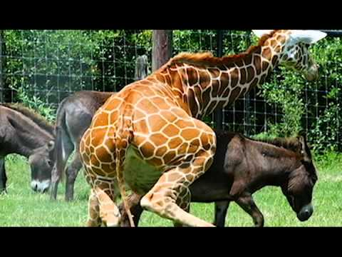 Donkey and Giraffe mating! (Animals Breeding)