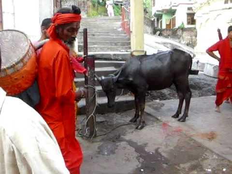 Xxx Mp4 Kamakhya Temple Gawhati Buffalo Sacrifice 3gp Sex