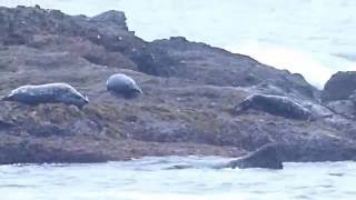 Seals At Laguna Beach, Sept 2016
