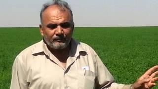 زراعة البرسيم بالسعودية | حاتم الصابوني