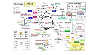 Amino Acid Metabolism Big Picture