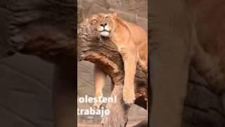 El león hablando xd